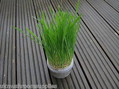 Complete cat grass grow kit - edible grass seed mix (oat, wheat, barley & rye) 7