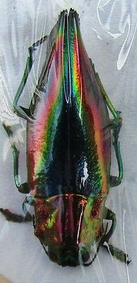 Kei Island Jewel Beetle Cyphogastra javanica FAST SHIP FROM USA