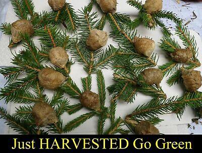 ⭐️ ⭐️ 1 LARGE Fresh Chinese Praying Mantis Egg ➕ Get A Free Hatching Habitat BAG 5