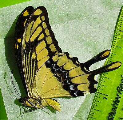 Thoas King Swallowtail Papilio thoas cinyras Male Folded/Papered FAST FROM USA