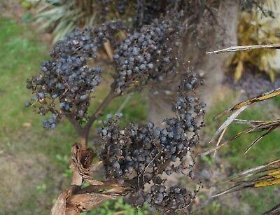 Dasylirion miquihuanense 10 Fresh Seeds #9732 Grass Tree