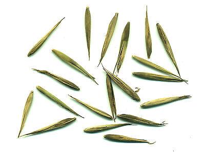 100 Graines de Bambou Géant MOSO - Phyllostachys Pubescens 3