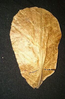 "Premium Indian Almond Leaves (Terminalia Catappa) x 10  4""- 6"" (10-15 cm) 2"