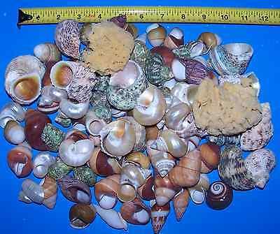 20 - Assorted Snail & Turbo Shells Hermit Crab & Sponge Crafts Wedding Decor 2