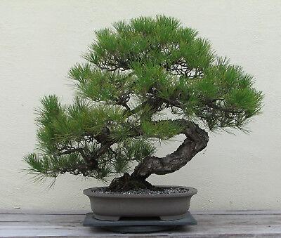 RARE Japanese Black Pine Bonsai Tree Seeds, Bonsai Pine Tree Seeds, UK Stock 3