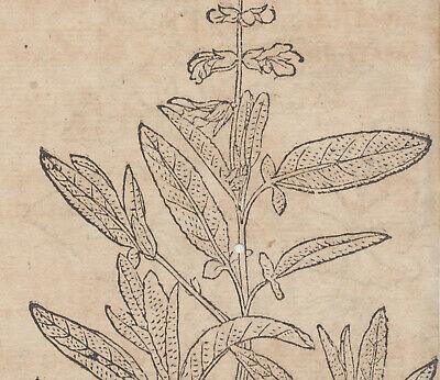 SALBEI  Apothekerkräuter kleiner Original Holzstich um 1590 Husten Bronchialtee 5