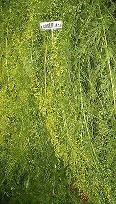 Artemisia Annua, sweet wormwood, Qing hao, más de 5.000 semillas ecologicas 4
