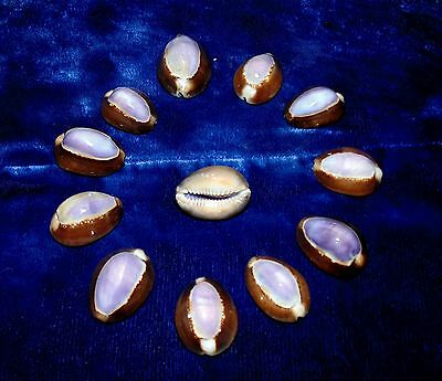 Twelve (12) Cypraea Caputserpentis  Purple Top Cowrie Sea Shells  Beach Decor