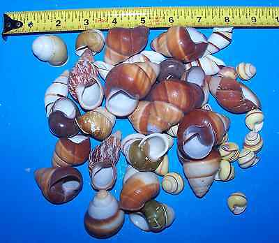 10 - Assorted Land Snail Shells Hermit Crab With Moisture Sponge Crafts Wow! 2