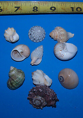 10 - ASSORTED  tiny - small Hermit Crab Shells FREE SHIPPING! READ! item # LL10h 2