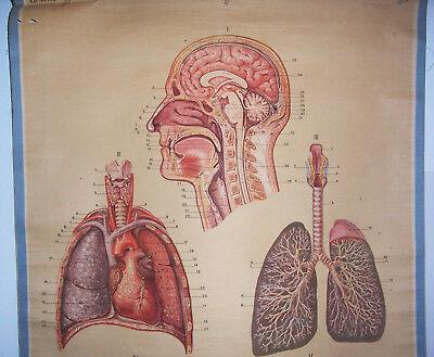Alte Rollkarte Schulkarte Atmungsorgane Lunge Anatomie um 1930 HMD deko ! (14 3