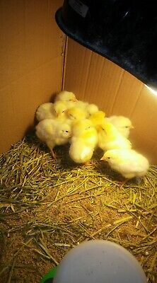 Assorted Barnyard mix Fertile Chicken Hatching Eggs One Dozen