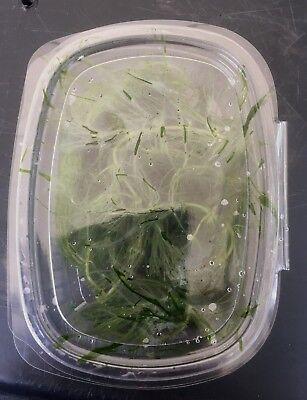Ceratophyllum  plante  aquarium  bassin oxygenante 5