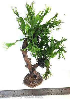 "Microsorum Pteropus ""Windelov"" Java Fern Jungle Tree Plant Moss co2 Marimo #2 3"