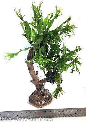 """Microsorum Pteropus """"Windelov"""" Java Fern Jungle Tree Plant Moss co2 Marimo #2 3"""
