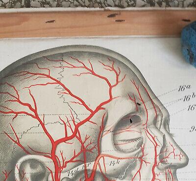 Frohse anatomische Wandtafel Aterien Rollkarte Schulwandkarte Lehrkarte 20er 2