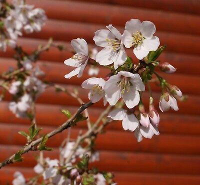Geschlitzte Zierkirsche Kojou no mai 30-40cm Prunus incisa