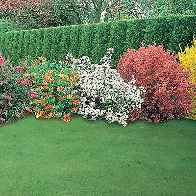 5X Mixed Established Garden Shrubs - Quality Potted Plants - Colourful Border 2