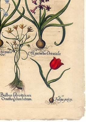 Hortus Eystettensis - Hyazinthen - Tulpen - Kupferstich 1613 - Basilius Besler 5