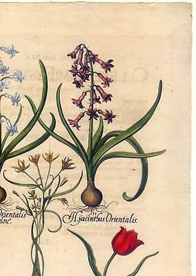 Hortus Eystettensis - Hyazinthen - Tulpen - Kupferstich 1613 - Basilius Besler 3