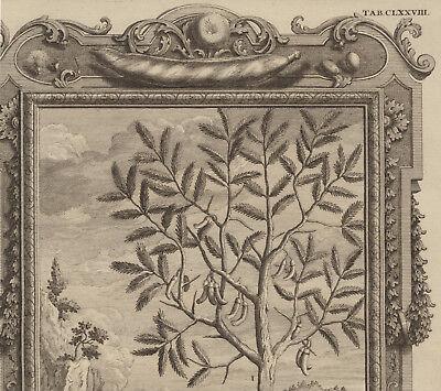 AKAZIE Baum Hülsenfrüchte großer Original Kupferstich um 1730 Botanik Biologie 3