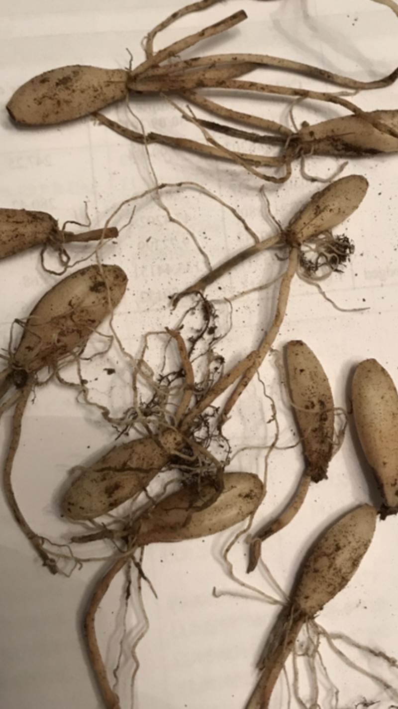 Ail des ours X8Bulbes Allium ursinum ail sauvage perpetuel BIO 2
