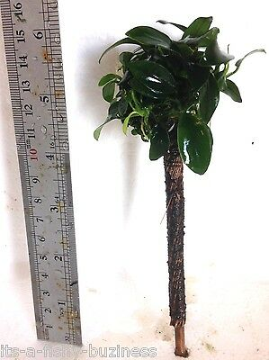 "Palm Tree ""Anubias Barteri Nana"" Tropical Live Aquarium Plant jave 2"