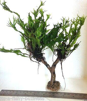"""Microsorum Pteropus """"Windelov"""" Java Fern Jungle Tree Plant Moss co2 Marimo #2 2"""