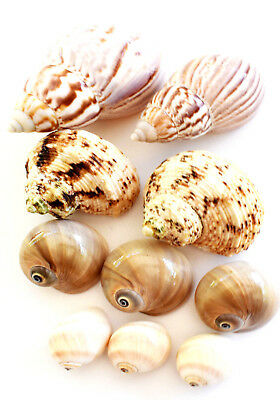 10 Hermit Crab Changing Shell Set Medium Size Land Snail, Moon Shells, Turbo. 2