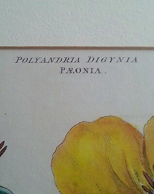 "Antique botanical lithograph by J. Miller ""Polyandra Digynia Paeonia "" 3"