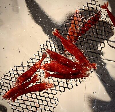 10 (+1 DOA) Fire Red Cherry Shrimp Imported From Thailand 4