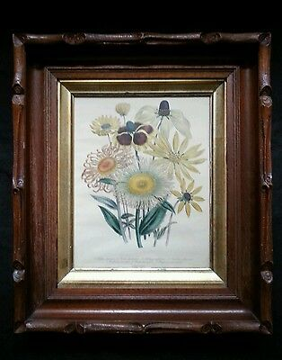 Antique botanical lithograph by Day & Haghe London, Chrysostemma 1840's 2