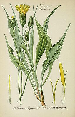 Tragopogon porrifolius 150 semillas Salsifi Negro