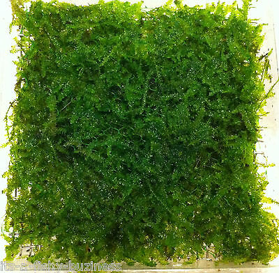 "Triangle Moss on Pad "" Vesicularia Sp "" 9x9cm Live Aquarium Plants Shrimp 2"
