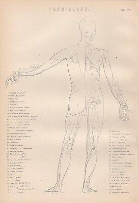 Muskeln des Menschen Muskulatur Muskelapparat Lithographie von 1890