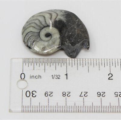 Large Goniatite Ammonite Fossil, 390 Million Year Old Polished Mollusk Specimen 5