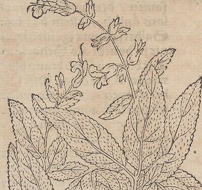 SALBEI  Apothekerkräuter kleiner Original Holzstich um 1590 Husten Bronchialtee 3