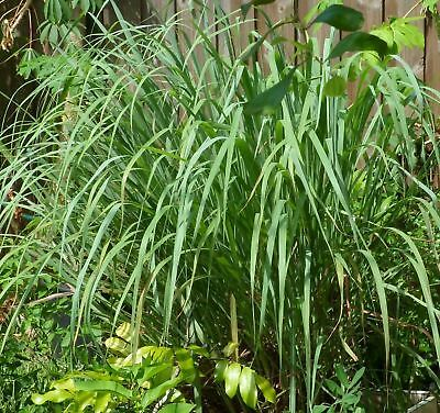 Lemongrass 12 LIVE Plants Each 4In to 7In Tall fully rooted Fever grass citratus 2