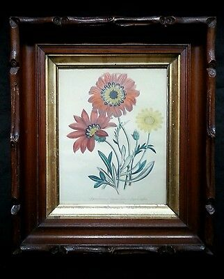 Antique botanical lithograph by Day & Haghe London, 1840's Gazania pavonia 2