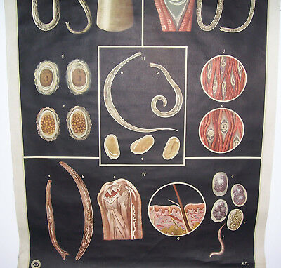 Rollkarte Lehrkarte Darmparasiten M.R. signiert Hygiene Museum Dresden deko (9 4