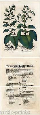 Hortus Eystettensis - Horminum hortense - Kupferstich 1613 Basilius Besler 2