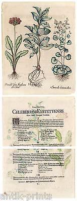 Hortus Eystettensis - Hippoglossum - Kupferstich 1613 Basilius Besler 2