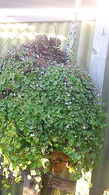 Kenilworth Ivy (Cymbalaria muralis,Ivy-Leaved Toadflax  ) x 60 seeds Vine