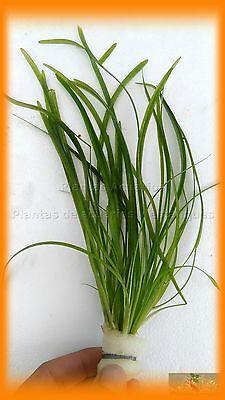 Planta De Acuario : Vallisneria Nana 6 Plantas