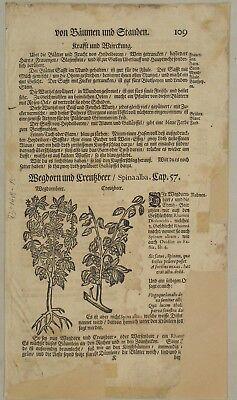 Faulbaum Kreuzdorn WEGEDORN Original Textblatt Fragment um 1590 Apotheker Arznei 2