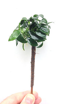 "Anubias Bonsai Palm Tree ""Barteri Nana"" Tropical Live Aquarium Plant jave"