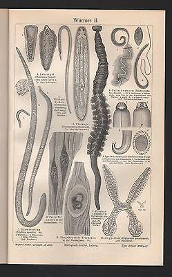 Chromo/Lithografie 1909: Würmer I/II. Enteropneusta Hirudineen Gephyreen 2