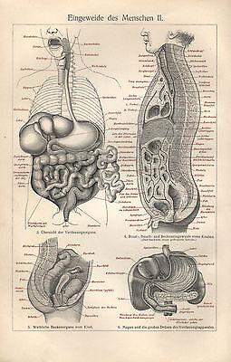 Eingeweide des Menschen I-IV Baucheingeweide  Brust Hals Arzt  Anatomie  1907