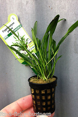 Cryptocoryne Parva Pot Forground Lawn Aquarium Plant Java Shrimp 3