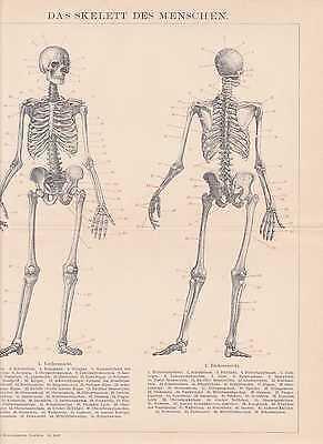 SKELETT DES MENSCHEN Gerippe Skull HOLZSTICH von 1894 Knochenbau 2